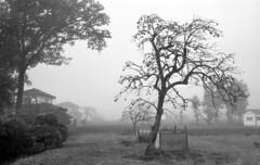 Persimmon trees in morning mist (odeleapple) Tags: leica m3 nokton classic 35mm yellowfilter kodaktmax400 film monochrome analog bw mist fog persimmon tree
