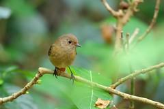 黃尾鴝 (mikleyu) Tags: 鳥 動物 自然