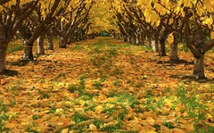 Looking Down the Cherry Row (Goose Spittin' Image Photography) Tags: summerland colours cherry yellows rows autumn october okanaganvalley