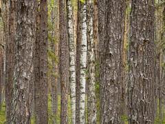 Same but different. (Fjällkantsbon) Tags: lappland sverige evamårtensson muddusnationalpark sapmi taiga forests structures