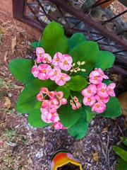 Euphorbia milii Des Moul. Euphorbiaceae-Crown of thorns, โป๊ยเซียน 5e (SierraSunrise) Tags: thailand phonphisai nongkhai isaan esarn plants flowers euphorbia euphorbiaceae ornamentals spiny thorny pink white
