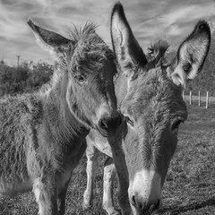 Photo de famille ***--+°-° (Titole) Tags: donkey ânesse ânon titole nicolefaton squareformat blackandwhite bw nb noiretblanc closeup 15challengeswinner thechallengefactory storybookwinner challengeyouwinner
