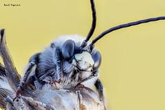 Descansando (Raul Espino) Tags: 2019 canon100mml canon6dmarkii macro macrofotografia natural naturaleza sevilla heliconfbtube insectos abeja