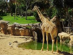 Jirafa de Rothschild (Marisa Tárraga DV) Tags: españa spain valencia bioparc zoo animal jirafaderothschild ngc fujifilmsl300 naturaleza nature giraffe