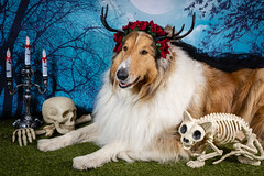 Did someone say treat? (pkwebbk70) Tags: halloween 31stoctober monster spooky merlin dog roughcoatedcollie sablemerle skeleton canoneosr trickortreat