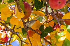 Tiny Bird Looking For A Snack in My Apple Tree (RS2Photography) Tags: california tree bird fall nature colors leaves animal canon outside photography leaf colours small natur tiny colourful animalplanet owensvalley easternsierras naturephotography easternsierra smol canon80d rs2photography flickr smugmug red food apple