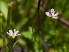 Stylidium despectum 1 (Boobook48) Tags: stylidiumdespectum stylidiaceae myamyn flower plant flora