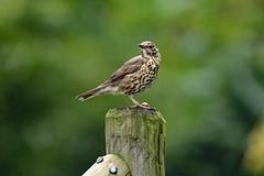 Zanglijster (K.Verhulst) Tags: zanglijster songtrush birds bird vogels vogel sunrays5 coth5