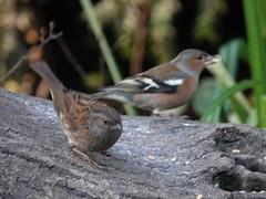 Dunnock & Chaffinch (Dugswell2) Tags: leightonmoss rspb dunnock chaffinch