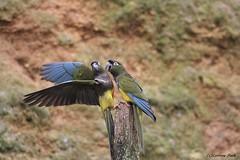 Perruche de Patagonie (Passion Animaux & Photos) Tags: perruche patagonie burrowing parrot bioparc douelafontaine france