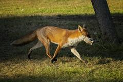Fox On The Run (MrBlueSky* Taking a Break) Tags: fox squirrel animal wildlife nature outdoor colour kewgardens royalbotanicgardens london pentax pentaxart pentaxlife pentaxawards pentaxflickraward pentaxk1 pentaxk1mkii aficionados