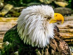 bald eagle (Joachim Spenrath Münster, Germany) Tags: baldeagle seward alaska usa blue sky morning peek feather outdoor nature adventure ketchikan bird vogel adler feder natur