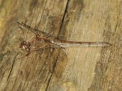 Common Darter (Sympetrum striolatum) Female (Rezamink) Tags: odonata uk sympetrumstriolatum commondarter dragonflies