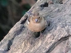 Chaffinch c (Dugswell2) Tags: leightonmoss rspb chaffinch female