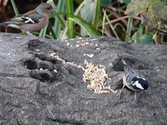 Chaffinch  & Coal Tit (Dugswell2) Tags: leightonmoss rspb chaffinch coaltit