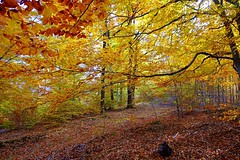 Autumn in yellow color (majka44) Tags: forest autumn magic yellow tree light mood atmosphere sloavakia walk nature natural landscape