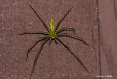 A very large lynx spider (Photosuze) Tags: spiders lynxspiders green halloween arachnids creepy animals nature wildlife