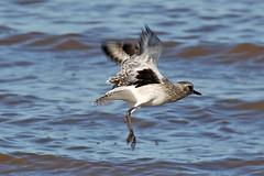 Grey Plover Landing (Roy Lowry) Tags: greyplover hoylake pluvialissquatarola wader