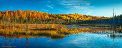 Autumn in Central Maine (Greg from Maine) Tags: autumn reflection trees forest nature landscape morning foliage bog swamp water lilypads oldtrees deadwood maine mainehighlands penobscotcounty dextermaine carrroad