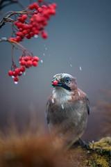 Jaybird, Nötskrika (davidshred) Tags: birds jaybird nötskrika