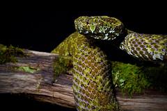 Mangshan pit-viper (Matthieu Berroneau) Tags: sony alpha nature wildlife animal fe90f28macrogoss sonya7iii sonya7mk3 sonyalpha7mark3 sonyalpha7iii a7iii 7iii 7mk3 sonyilce7m3 sonyfesonyfe2890macrogoss objectifsony90mmf28macrofe sel90m28g herp herping chine china endemic rare amazing cryptic reptile reptilian reptilia serpent snake endémique protobothrops mangshanensis crotale de mangsha protobothropsmangshanensis crotaledemangsha mangshan pit viper mangshanpitviper zhaoermia ermia trimeresurus pitviper mt mang mountain mtmangpitviper mangmountainpitviper chinese