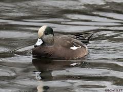 10261971917asmweb (ecwillet) Tags: americanwigeon wigeon boilingsprings duck nikon nikond500 nikon200500f56 ecwillet ericwillet