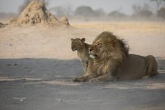 Zimbabwe Hwange National Park (Francesca Bullet) Tags: hwange africa animal animals wind lion pride powder safari lions zimbabwe protection park wild nature puppy landscape lights wildlife wildanimal savannah mane ngc