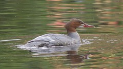 Goosander (Mergus merganser) (GazingAtTrees) Tags: goosander mergusmerganser bird rbge botanics royalbotanicgardenedinburgh edinburgh