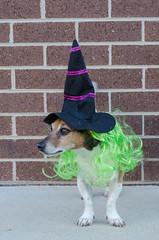 Week 5 (jessicajoy2) Tags: buster dog halloween spring jackrussell week5 12yearsold 2019