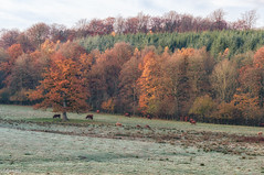 03112015-_DSC0021 (vidjanma) Tags: rolley automne gel vaches