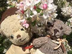 Paddington, Scout and the Crab Apple Blossoms 1. (raaen99) Tags: paddington paddingtonbear paddybear paddy teddy teddybear bear softtoy vintage toy vintageteddy vintageteddybear vintagetoy handmade softie plush cute cuddly soft scout scoutbear knitting knitted knittedtoy fairtrade fairtradebear scouthouse alowyngardens yarravalley yarraglen provincialvictoria melbahighway melbahwy victoria australia fff flickrfamousfive famousflickrfive photogroup frenchprovincialgarden blossom appleblossom crabapple crabappleblossom whiteblossom pinkblossom garden formalgarden formalgardens avenue bloom gardenbed publicgardens green leaf nature plant nursery planting spring sun sunshine provincialgarden europeangarden crabappleblossomtree crabappletree tree