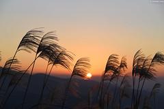 瑞芳・ 基隆山︱Keelung mountain trail・Ruifang (Iyhon Chiu) Tags: 金瓜石 瑞芳 基隆山 新北市 九份 芒草 秋芒 夕陽 黃昏 芒 ススキ 夕暮れ 台湾 台灣 taiwan ruifang jiufeng keelung mountain landscape trail sunset newtaipeicity silvergrass grass
