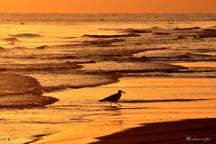 COLAZIONE ALL'ALBA (Salvatore Lo Faro) Tags: natura nature mare acqua oceano adriatico rosso oro uccello gabbiano cibo spiaggia onde risacca rodi puglia italia italy salvatore lofaro nikon 7500