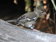 Chaffinch b (Dugswell2) Tags: leightonmoss rspb chaffinch female