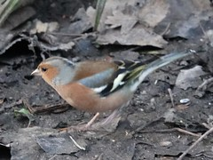 Chaffinch f (Dugswell2) Tags: leightonmoss rspb chaffinch male