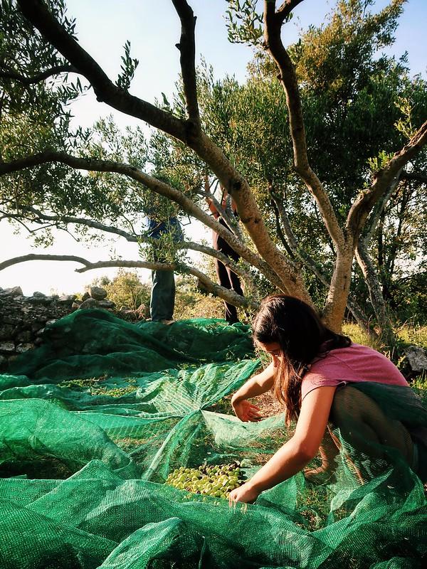 Picking olives from our family land in Zastrazisce, Hvar, Croatia.