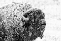 October 27, 2019 - A snowy bison. (Tony's Takes)