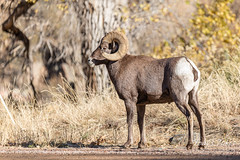 October 26, 2019 - A bighorn sheep ram poses in Waterton Canyon. (Tony's Takes)