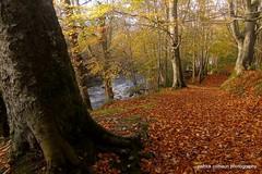 swans park (patrickcolhoun) Tags: autumn fall nature landscape woods leaves buncrana swanspark donegal ireland