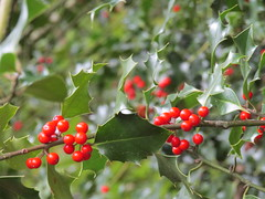 The holly bears a berry .......... (amy's antics) Tags: tintern autumn birthday holly berries red