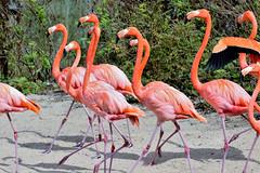 """""""Band on the Run"""" (Jan Nagalski) Tags: bird nature flamingo pink red redorange captiveanimals zoo exoticbird exotic toledozooandaquarium toledo ohio jannagalski jannagal"""