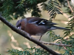 Chaffinch (Dugswell2) Tags: leightonmoss rspb chaffinch male