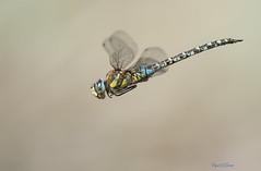 Aeshna mixta (Latreille, 1805) (Pipa Terrer) Tags: aeshnamixta anisoptera dragonfly odonata libélula cartagena insecta invertebrados insectos