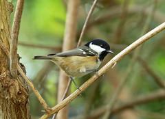 Coal Tit ---- Periparus ater (creaturesnapper) Tags: birds uk europe tits coaltit periparusater