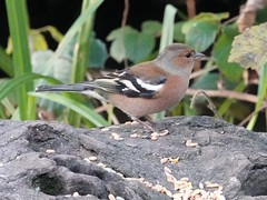 Chaffinch h (Dugswell2) Tags: leightonmoss rspb chaffinch male