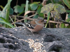 Chaffinch j (Dugswell2) Tags: leightonmoss rspb chaffinch male