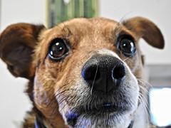 Camillo (Z_marukun) Tags: nikonp900 closeup pet dog 犬 coolpixp900