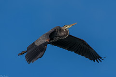 Going higher (Fred Roe) Tags: nikond7100 nikonafsnikkor200500mm156eed nature naturephotography national wildlife wildlifephotography animals birds birding birdwatching birdwatcher birdinflight heron greatblueheron ardeaherodias colors outside flickr feet peacevalleypark