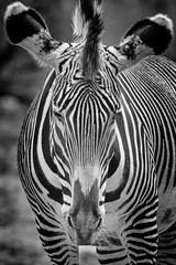 Animal Portraits - Stripes (KWPashuk (Thanks for >3M views)) Tags: nikon d7200 tamron tamron150600mm lightroom luminar luminar2018 luminar3 luminar31 luminar4 kwpashuk kevinpashuk zebra animal portrait wildlife monochrome outdoors nature mono toronto zoo ontario canada