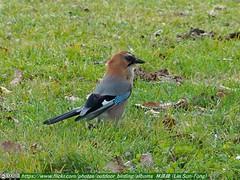 松鴉 (Garrulus glandarius  brandtii#Eurasian Jay) (Lin Sun-Fong) Tags: 松鴉 garrulusglandariusbrandtii eurasianjay japan